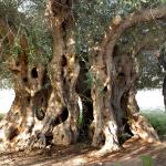 3000 let starý olivovník